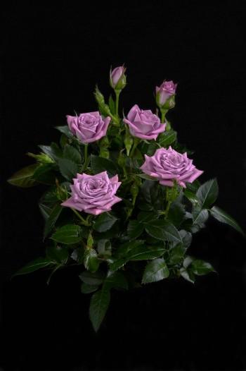 Buy Roses 365 Kordana 174